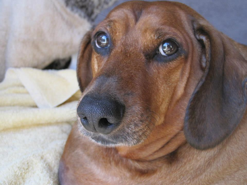 Obie, el perro salchicha más gordo del mundo pesa 35 kilos ...