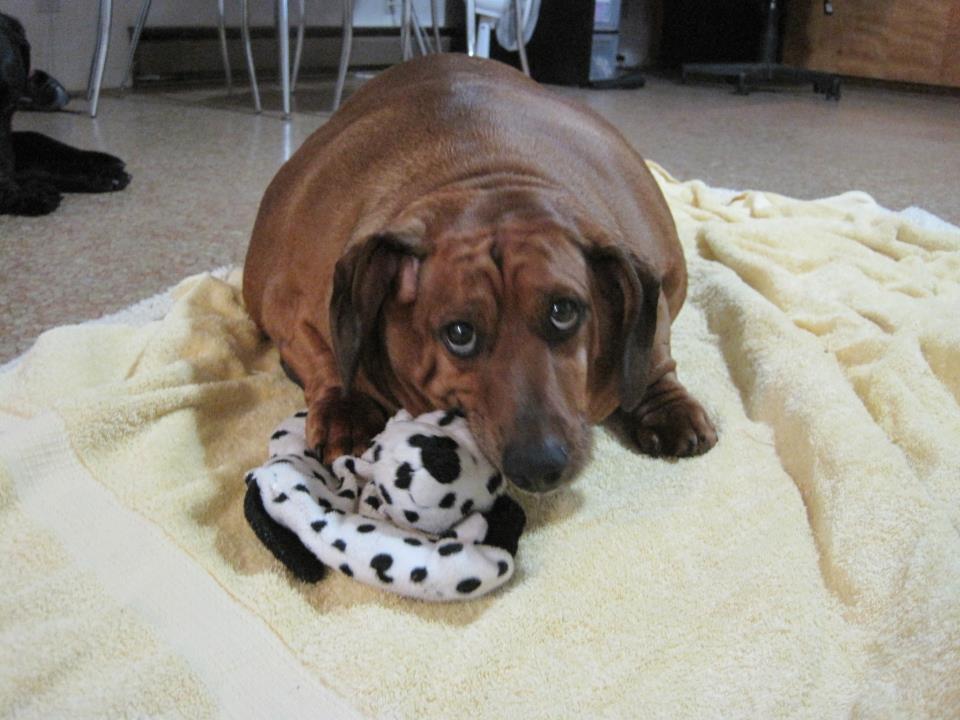 El perro mas gordo del mundo