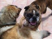 Bulldog sacrifican esta semana.