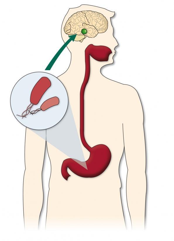 La presencia de helicobacter pylori en el estómago ayuda a regular la