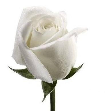Pequeña historia del Pastor de flores y la Rosa blanca.