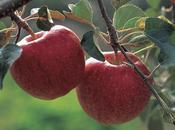 Razones para comer manzanas