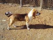 Tres cachorros beagle, sólo semanas margen....