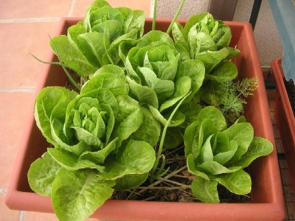 cogollos Cultivar vegetales de hoja para ensalada en una jardinera