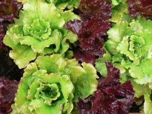 P1110125 300x225 Cultivar vegetales de hoja para ensalada en una jardinera