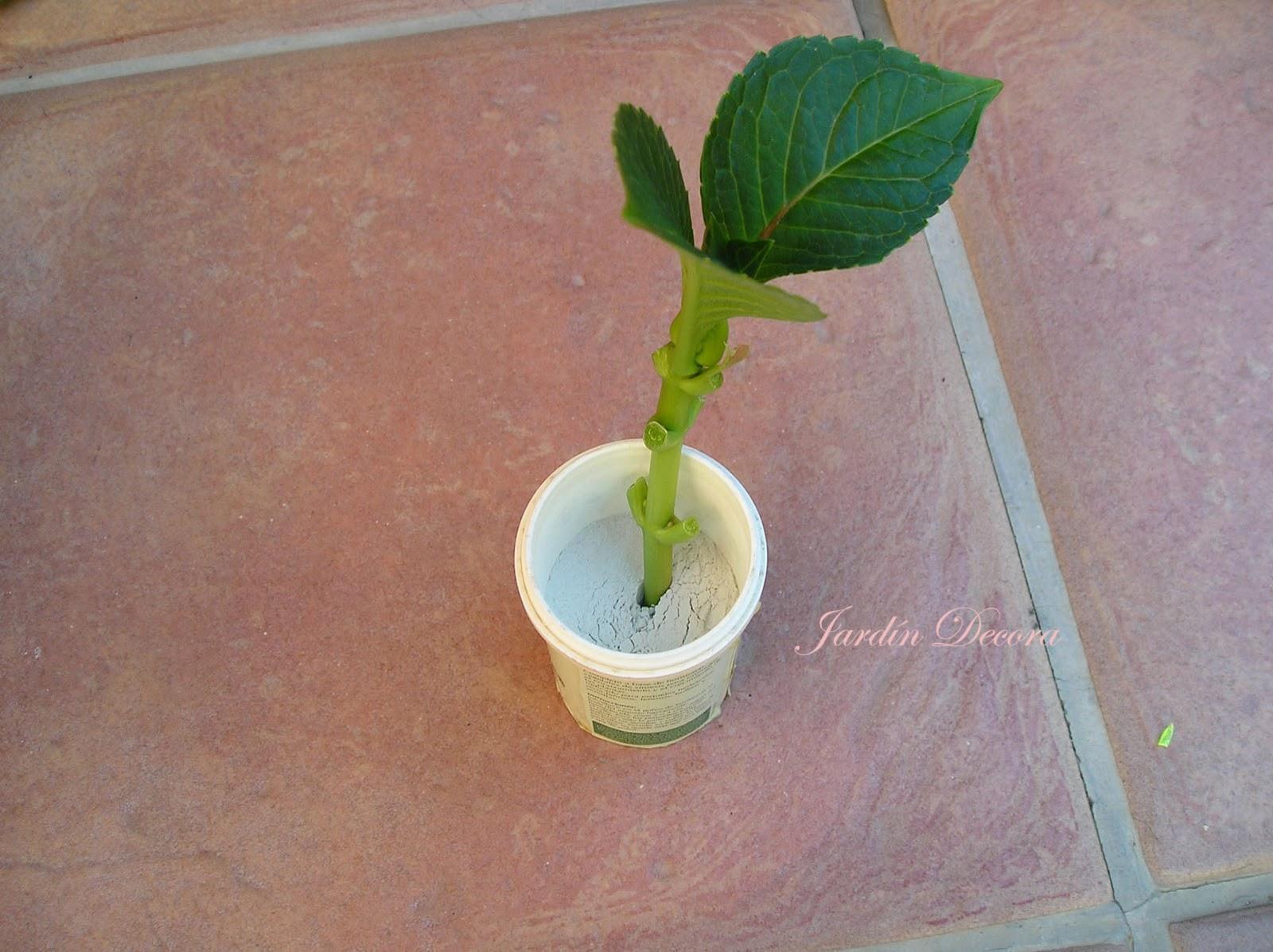 Esquejes de hortensias paso a paso paperblog - Como cuidar hortensias en maceta ...