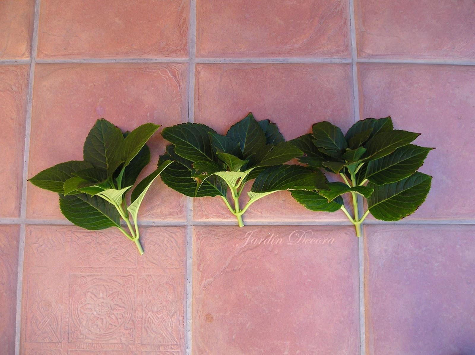 Cuidados De Una Hortensia Latest Planta De Hortensias Rosas With - Hortensias-cuidados-maceta