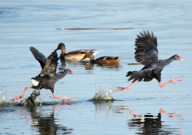porphyrio thesis Waterfowl management in north canterbury,  the basic goal of this thesis is to contribute to the know  (porphyrio melanotus).