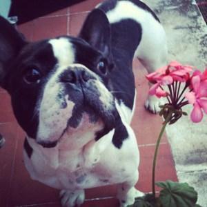 La castración química mi perro Bulldog Francés