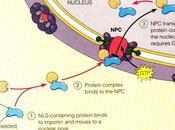 Nuevo mecanismo transferencia génica