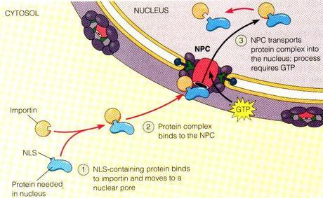Esquema sobre el transporte nuclear de proteínas