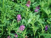 Usos medicinales alfalfa