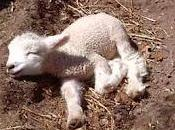 Pequeña Lamb