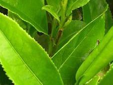 verde podría ayudar combatir cáncer próstata