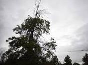 ayuntamiento pozuelo compra árbol cuyo precio supera 110.000 euros.