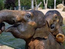 elefantes borrachos destruyen pueblo
