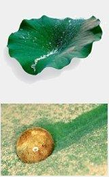 Propiedades de la planta de loto