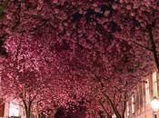 Landscapelifescape:Bonn, GermanyCherry Blossom Avenue by...