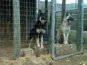 pastoras belgas, solo meses, perrera. (Cadiz)