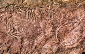 Fauna Ediacara: Las primeras formas de vida habrían sido terrestres según Nature Primeras-formas-vida-habrian-sido-terrestres--L-ythjYM