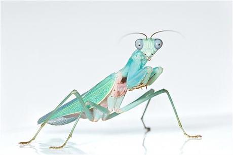 5 de las Mantis más bonitas del planeta