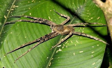 Sabias que el Veneno de una araña provoca 4 horas de erección. ¿El próximo viagra?