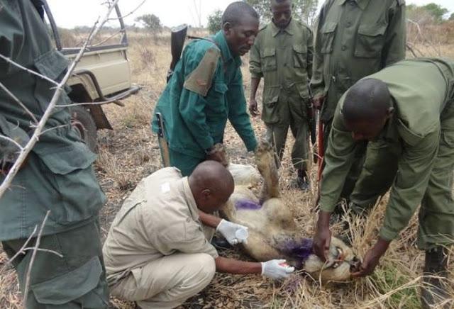 La increíble historia de un león condenado a morir que es salvado por su manada. Increible-historia-un-leon-condenado-morir-qu-L-O_mSb6