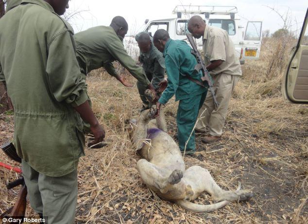 La increíble historia de un león condenado a morir que es salvado por su manada. Increible-historia-un-leon-condenado-morir-qu-L-Qjh13G