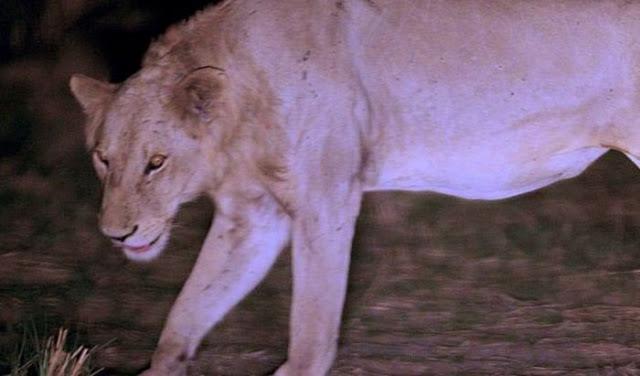 La increíble historia de un león condenado a morir que es salvado por su manada. Increible-historia-un-leon-condenado-morir-qu-L-Wg9g7M