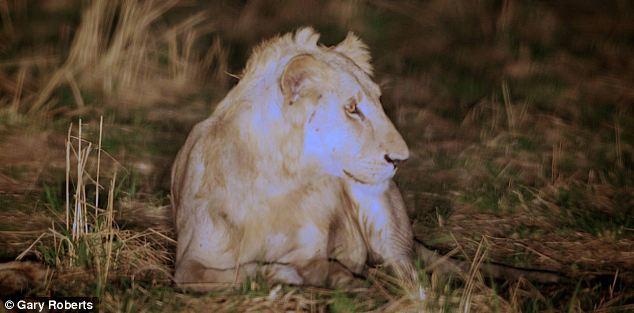La increíble historia de un león condenado a morir que es salvado por su manada. Increible-historia-un-leon-condenado-morir-qu-L-wAWVrC