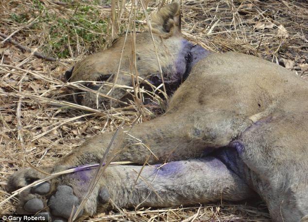 La increíble historia de un león condenado a morir que es salvado por su manada. Increible-historia-un-leon-condenado-morir-qu-L-xJwxtp