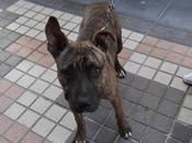 Chico, precioso cachorron pitbull adopción. (cartagena).