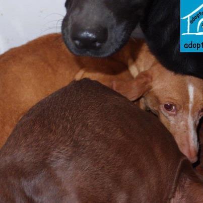 Podenca entregada por su cazador en perrera de jerez esta for Oficina 0049 banco santander