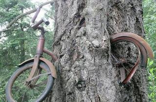 Insólito caso Árbol traga Bicicletas