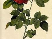 Rosales Bourbon borbonianos: pequeña Historia.
