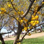 Espinillo, árbol medicinal con grandes espinas