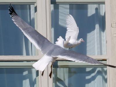 gaviota ataca paloma de la paz