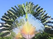 Árbol Viajero, Ravenala madagascariensis