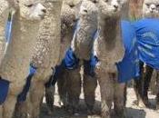 Yauyos canta reciben alpacas mejoradas para reproduccion gore lima…