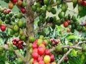 Afectará roya producción café Guatemala 2014
