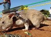 Utilizan ratas gigantes Tanzania para detectar minas antipersonas