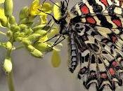 Zerynthia rumina (Linnaeus, 1758) Mariposa arlequín