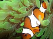 baile Nemo: movimientos payaso benefician anémonas