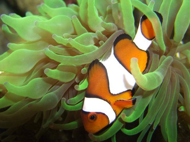 El baile de Nemo: los movimientos del pez payaso benefician a las ...