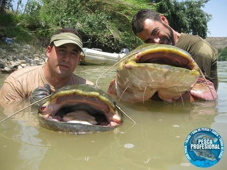 documetal pesca del siluro al pellets con silvestria. GUIA DE PESCA DEL SILURO AL PELLETS 2013