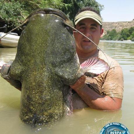 pesca guiada del siluro 480x480 GUIA DE PESCA DEL SILURO AL PELLETS 2013