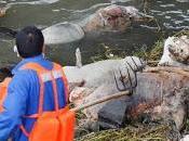 Miles cerdos muertos Shanghai