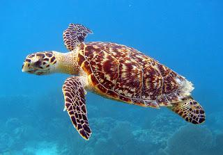 Las Tortugas Carey y su Sorprendente Vida Sexual