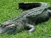 Huellas Aligator Mijas