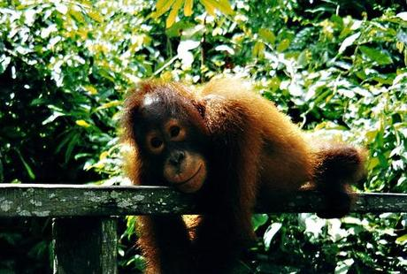 Reclining orangutan-Friday-Pic-Borneo